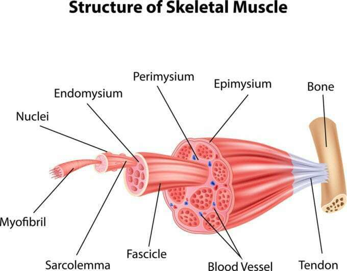 Trifocus Fitness Academy - skeletal muscle